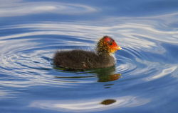 Eurasian or common coot, fulicula atra, duckling Stock Images