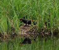Eurasian or common coot, fulicula atra, ducklings Royalty Free Stock Photography
