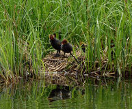 Eurasian or common coot, fulicula atra, ducklings Stock Image