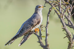 Eurasian or Common Cuckoo, Perched On Acacia. A Eurasian or Common Cuckoo, perched on an Acacia bush in Kenya during April, prior to its long flight to Europe Royalty Free Stock Photo
