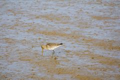 Black tailed Godwit feeding at low tide. stock images
