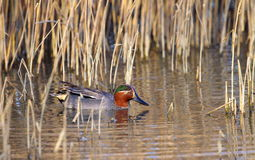 Eurasian (or common) teal duck in the pond. One male eurasian (or common) teal duck (anas crecca) floating on the water pond with little winter yellow grass Royalty Free Stock Images
