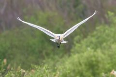 Eurasian or Common White Spoonbill in flight, Platalea leucorodia. Wildlife stock photography