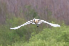 Eurasian or Common White Spoonbill in flight, Platalea leucorodia. Wildlife stock photo