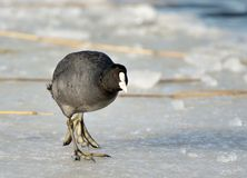 Eurasian coot. A eurasian coot in the winter Royalty Free Stock Photos