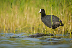 Eurasian coot Royalty Free Stock Photography