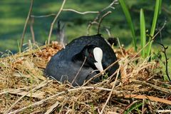 Eurasian coot Stock Photo