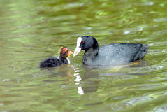 Eurasian Coot And Young Royalty Free Stock Image