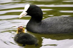 Eurasian Coot And Young Royalty Free Stock Images