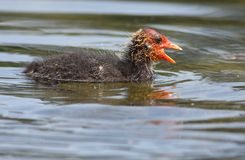 Eurasian Coot baby Stock Images