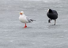 Eurasian coot chases on the ice a seagull with bread Royalty Free Stock Image