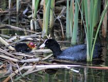 Eurasian coot with chick stock photography