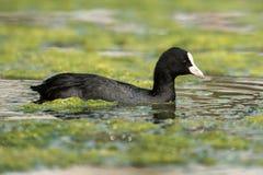 Eurasian Coot, Coot, Fulica atra. Water Birds - Eurasian Coot, Coot, Fulica atra Stock Images