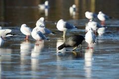 Eurasian Coot, Coot, Fulica atra. Water Birds - Eurasian Coot, Coot, Fulica atra Royalty Free Stock Photo
