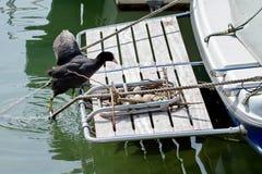 Eurasian coot duck (fulica atra) climbing to nest royalty free stock photos