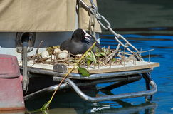 Eurasian coot duck (fulica atra) female and nest royalty free stock images