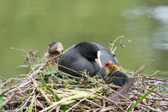 Eurasian coot with duckling Stock Photo