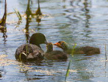 Eurasian coot family feeding Stock Photos