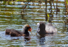 Eurasian coot family feeding Stock Photo