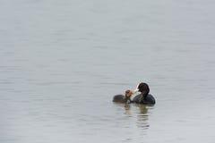 Eurasian coot feeding gosling Stock Photo