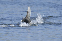 Eurasian coot. In fight in mating saison Stock Photo