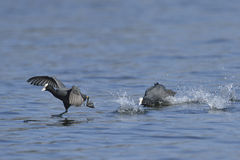 Eurasian coot. In fight in mating saison Stock Images