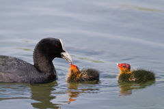 Eurasian coot (Fulica atra) Royalty Free Stock Photography