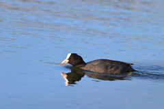 Eurasian coot (Fulica atra) Royalty Free Stock Images
