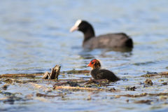Eurasian coot (Fulica atra) Royalty Free Stock Image