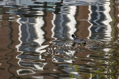 Eurasian Coot. Fulica atra adult swimming in water of a Town Canal with reflections Royalty Free Stock Photography
