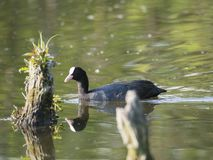 Eurasian coot Fulica atra, also known as the common coot swimming in the water of green pond with tree trunk and logs. Eurasian coot Fulica atra, also known as stock images
