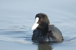 Eurasian Coot Fulica atra royalty free stock photos