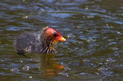 Eurasian coot (Fulica atra) baby Royalty Free Stock Photography
