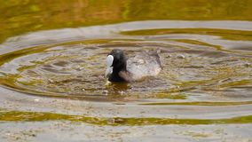 Coot swimming in pond stock footage