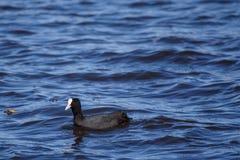 The Eurasian coot Fulica atra bird. The Eurasian coot Fulica atra bird at water in lake Stock Image