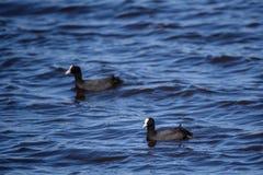The Eurasian coot Fulica atra birds at lake. Two The Eurasian coot Fulica atra birds swimming at lake Stock Photography