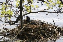Eurasian coot Fulica atra on the nest. A Eurasian coot Fulica atra breeding on the nest Stock Photography
