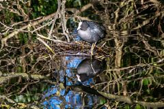 Eurasian coot Fulica atra building drinking from clear still river water with reflection stock photography