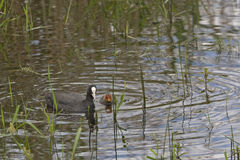 Eurasian Coot, Fulica atra with chick Royalty Free Stock Photos
