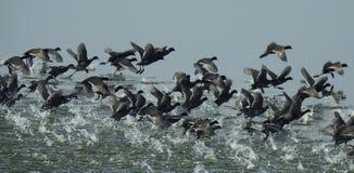 Eurasian coot Fulica atra flock stock photo
