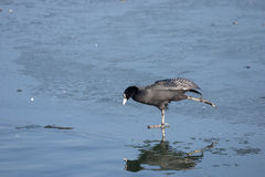 Eurasian Coot (Fulica atra) ice skating. Stock Photo