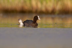 Eurasian coot, Fulica atra Royalty Free Stock Image