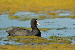 Eurasian coot. The Eurasian coot (Fulica atra), on the lake Stock Photo