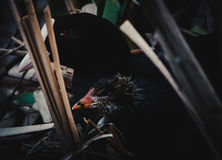 Eurasian coot. Fulica atra with a nestling Royalty Free Stock Photos