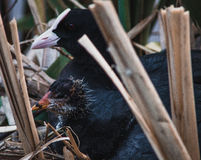 Eurasian coot. Fulica atra with a nestling Stock Photography