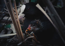 Eurasian coot. Fulica atra with a nestling Royalty Free Stock Photo