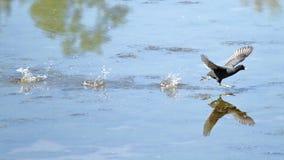 Eurasian coot Fulica atra at Plaiaundi royalty free stock images