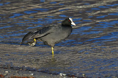 Eurasian coot, Fulica Atra, side view Stock Photo