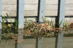 The Eurasian Coot, Fulica Atra is sitting on the nest in spring. The Eurasian Coot, Fulica Atra is sitting on the nest between the common reed, red fallen Stock Images