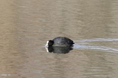 Eurasian coot Fulica atra swimming on a lake. A Eurasian coot Fulica atra swimming on a lake Royalty Free Stock Images